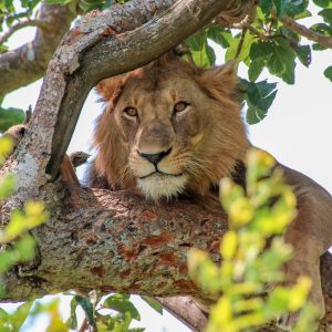 Tree-climbing lions in Queen Elizabeth NP, and more