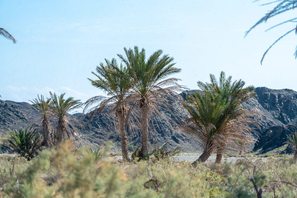 Palmbomen op Masirah eiland