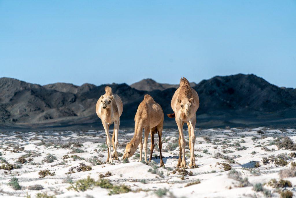 Kamelen op Masirah eiland