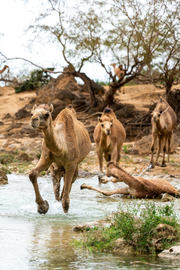 Kamelen in Wadi Darbat