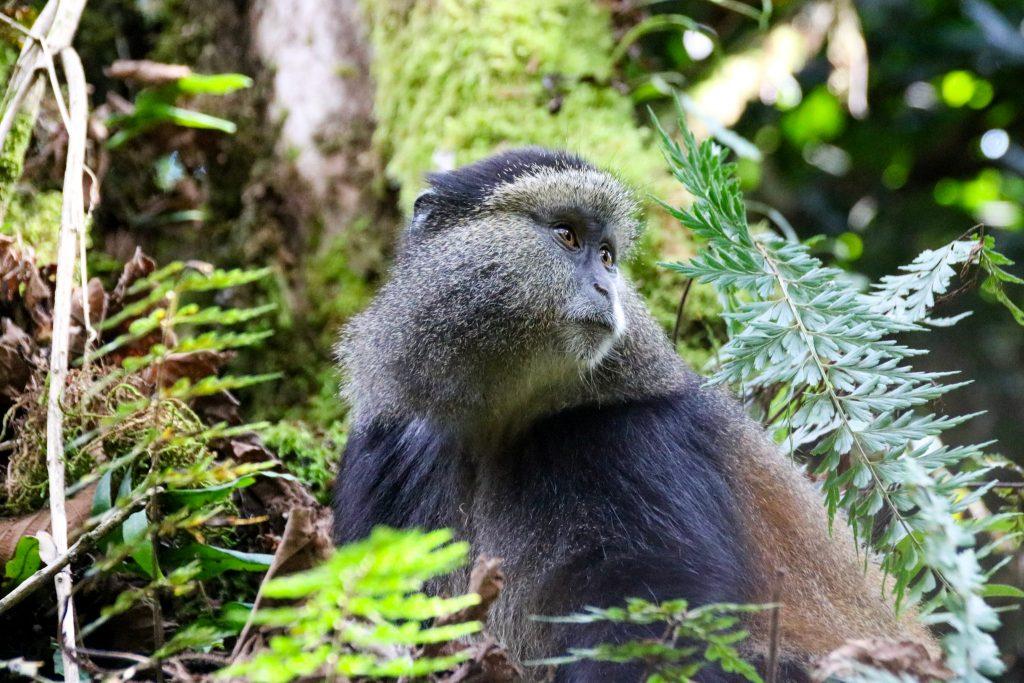 Jungle monkeys in Uganda